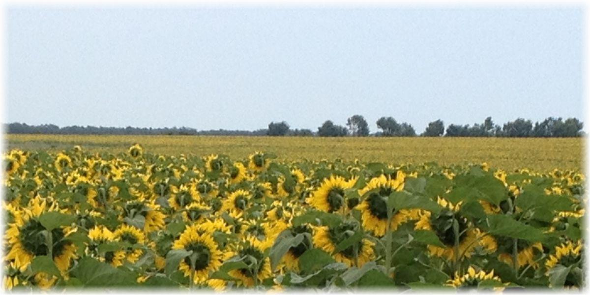 Sonnenblumen-Feld, Bulgarien